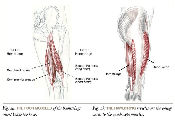 Hamstring anatomy -Hamstrings Exercises